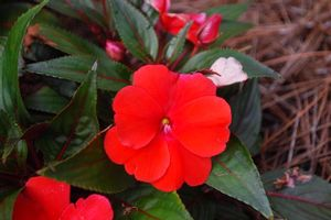 Impatiens hawkerii (New Guinea Impatiens)
