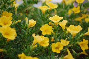 Calibrachoa 39 million bells neon yellow 39 - Calibrachoa perenne ...