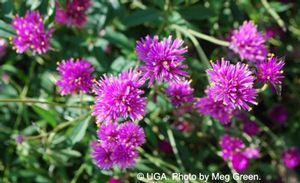Gomphrena species ()