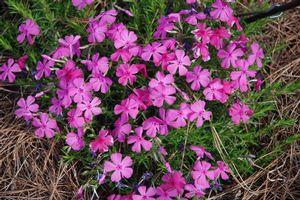Phlox Subulata Moss