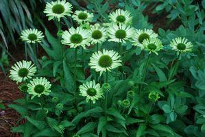 echinacea purpurea 39 pure green jewel 39 hybrid coneflower. Black Bedroom Furniture Sets. Home Design Ideas