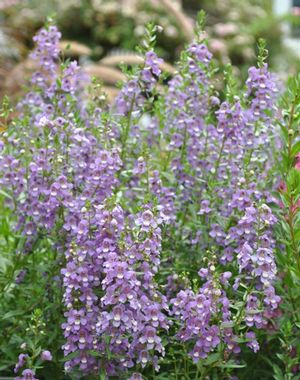 Angelonia angustifolia ()
