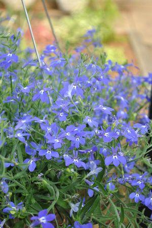 Lobelia Erinus Hot Night Blue