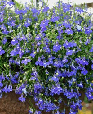 Lobelia Erinus Hot Springs Dark Blue