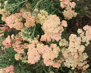 Achillea millefolium (Common Yarrow)