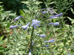 Agapanthus africanus (Lily-of-the-Nile)