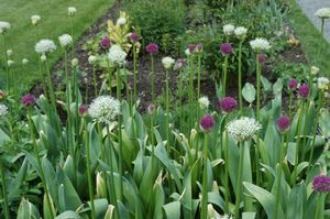 Allium aflatunense (Persian Onion)
