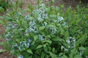 Amsonia rigida (Stiff Blue star)
