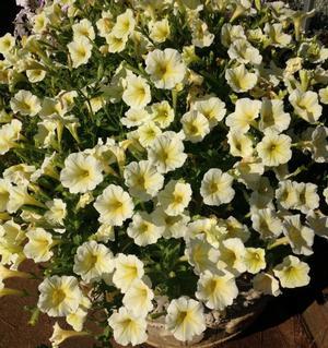 Proven Winners Supertunia Limoncello Petunia 4.25 in. Grande ...