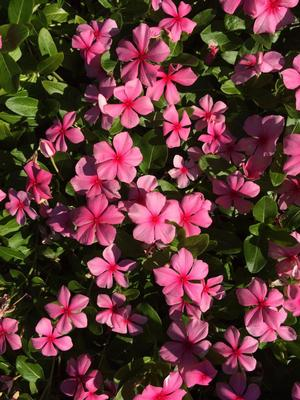 Catharanthus roseus 'Cora® Cascade Strawberry'