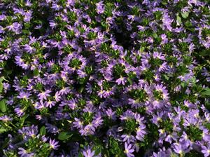 Scaevola 'Scalora™ Jewel'