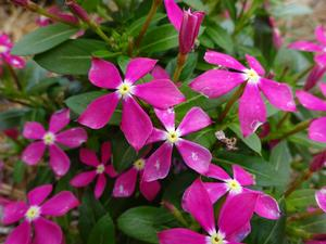 Catharanthus ()