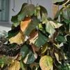 Acalypha 'Giant Leaf'