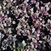 Alternanthera 'Little Ruby'