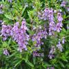 Angelonia angustifolia 'Serena Purple'