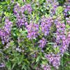 Angelonia angustifolia 'Serenita Purple'