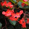 Begonia 'Big Red Bronze Leaf'