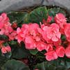 Begonia 'Dragone Pink Hope'