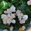 Begonia 'Dragone White Blush'