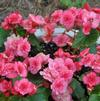Begonia 'Flamingo Rose'