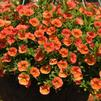 Calibrachoa 'Aloha Hot Orange 2012'