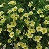 Calibrachoa 'Million Bells Bouquet Cream'