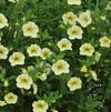 Calibrachoa 'Million Bells Lime'