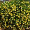 Calibrachoa 'MiniFamous Double Deep Yellow'