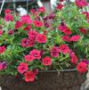 Calibrachoa 'MiniFamous Double Magenta Evolution'