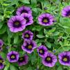 Calibrachoa 'Superbells Grape Punch 11-12'