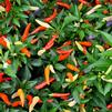 Capsicum frutescens 'Basket of Fire'