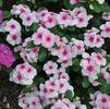 Catharanthus roseus 'Cora Strawberry'