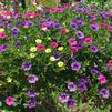 Mixes 'M 2 - Calibrachoa'