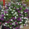 Mixes 'S 1 - Petunias'