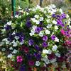 Mixes 'S 3 - Petunias'