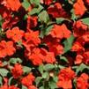 Impatiens walleriana 'Accent Premium Deep Orange'