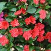 Impatiens walleriana 'Accent Premium Red'