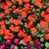 Impatiens walleriana 'Accent Premium Salmon'
