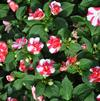 Impatiens walleriana 'Silhouette Rose Star'