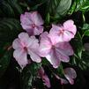 Impatiens hawkerii 'Sonic Magic Pink'