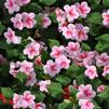 Impatiens walleriana 'Spellbound Pink Splash'