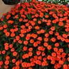 Impatiens hybrid 'SunPatiens Compact Electric Orange'