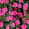 Impatiens walleriana 'Super Elfin XP Deep Pink Improved'