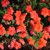 Impatiens walleriana 'Super Elfin XP Salmon Improved'