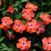 Impatiens hawkerii 'Tamarinda Orange Orchid'