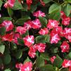 Impatiens walleriana 'Tumbler Rose Star'