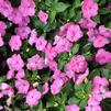 Impatiens walleriana 'Xtreme Pink Improved'