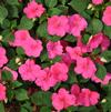 Impatiens walleriana 'Xtreme Rose'