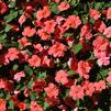 Impatiens walleriana 'Xtreme Salmon Improved'