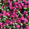 Impatiens walleriana 'Xtreme Violet Improved'